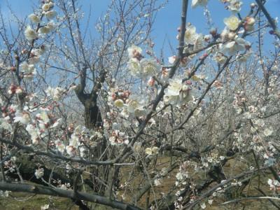 梅の花アップ.jpg