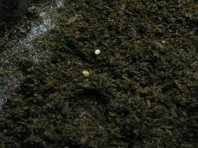 かぶと虫のたまご