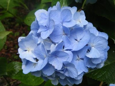 紫陽花ブルー.jpg