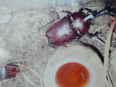 赤カブト虫.jpg