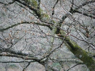 桜の様子 2012年3月08.jpg