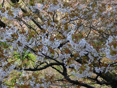 4月2日現在の桜.jpg