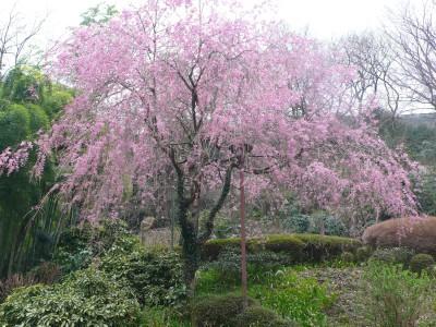 おくゆもと枝垂れ桜.jpg