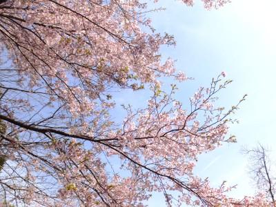 suzuhiromaesakura.jpg