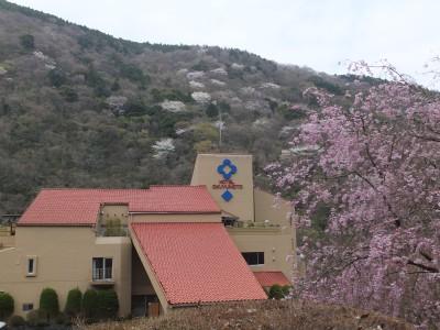 ホテルおくゆもと 枝垂れ桜と山桜.jpg