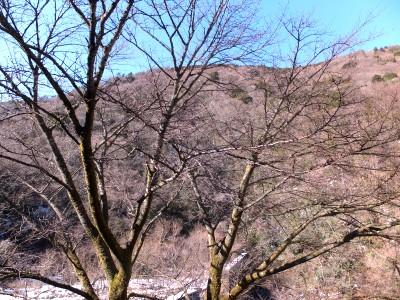 二月十六日 大島桜.jpg