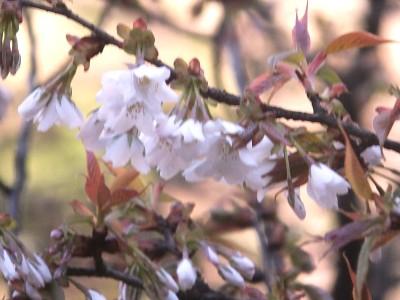 桜2014開花.jpg